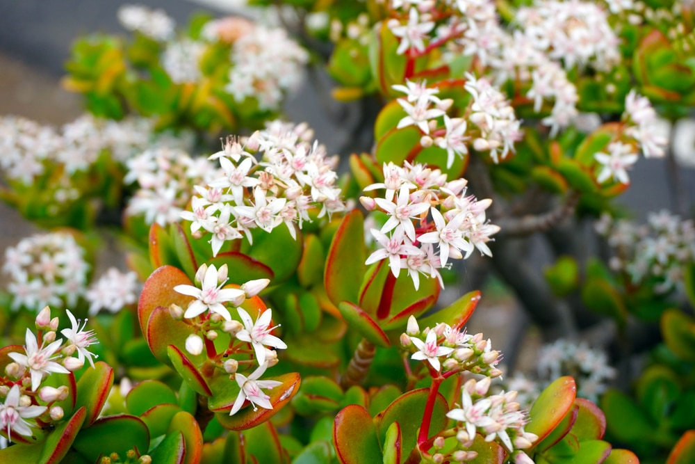 Red-edged emerald green thickish leaves and inflorescences of pinkish white flowers of the Money Plant
