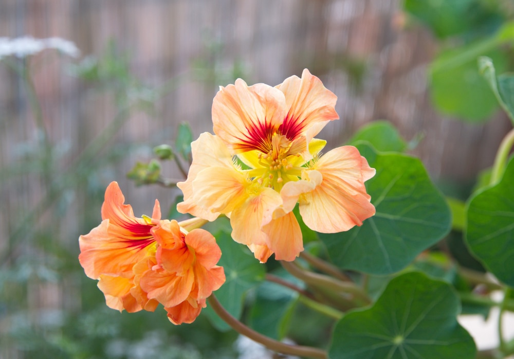 nasturtium with its orange flowers