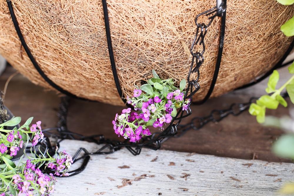sweet alyssum flowers growing out of their basket