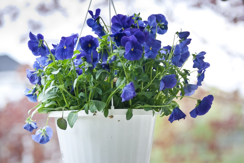 violet pansy flowers and green foliage in a white hanging pot