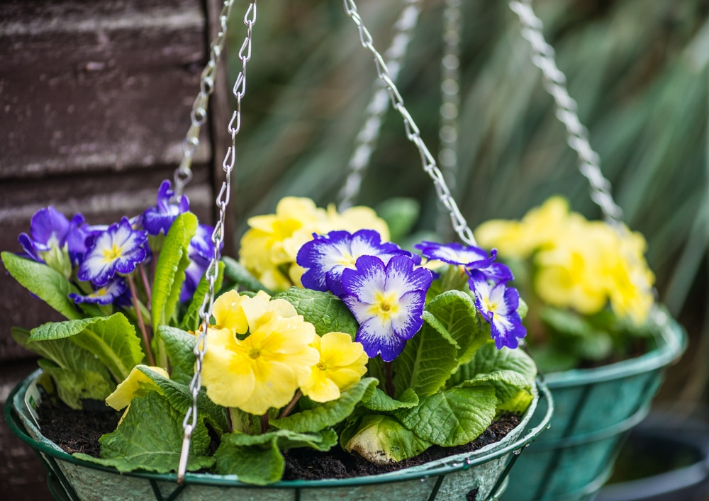 yellow and purple primrose flowers in green hanging baskets