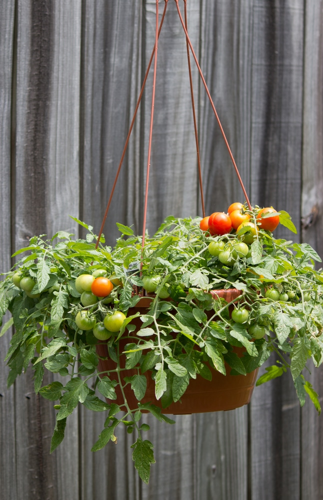 tomatoes hanging next to a garden fence