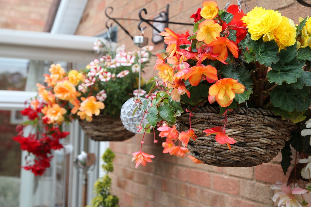 petuinia flowers in conservatory hanging baskets