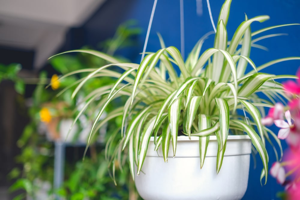 distinctive spider plant foliage hanging over its basket