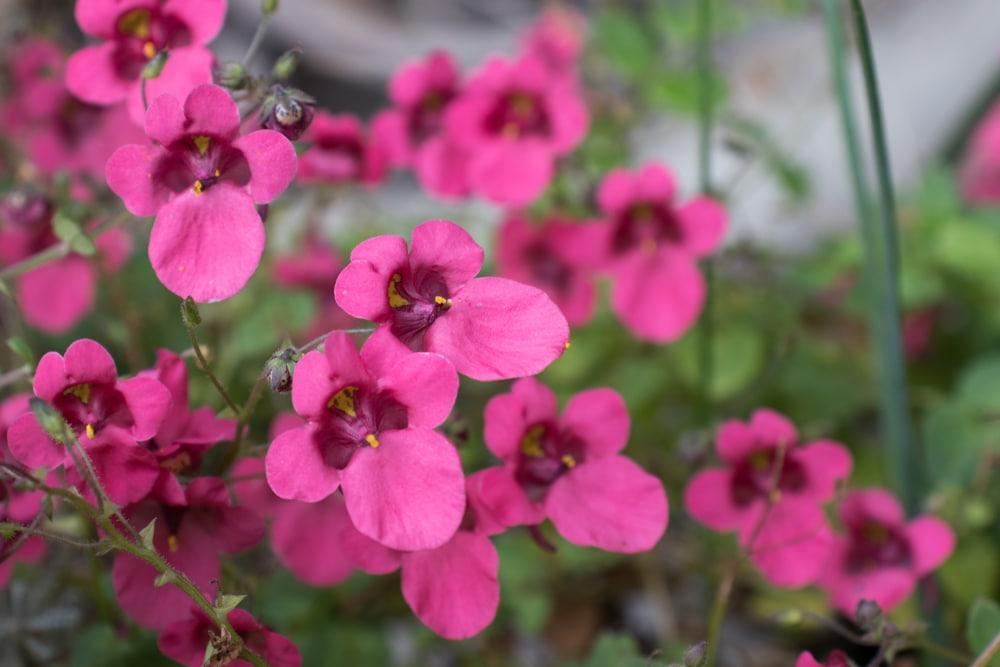 diascia flowers close up
