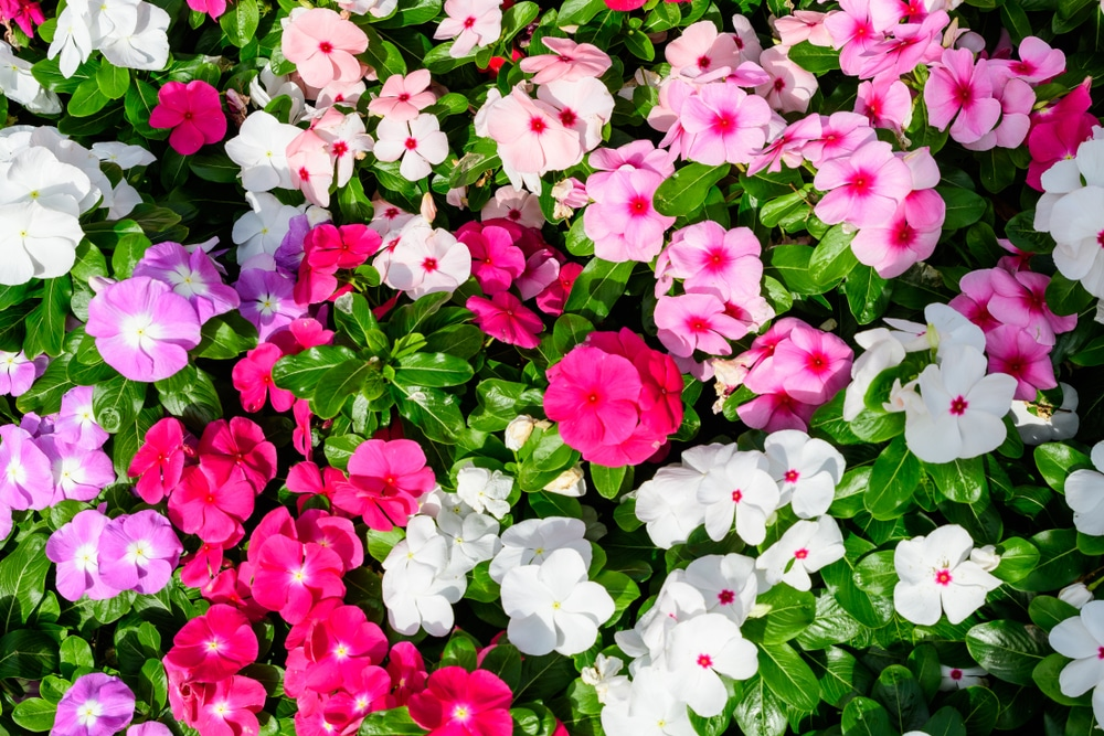 impatiens flowers in shades of pink and white