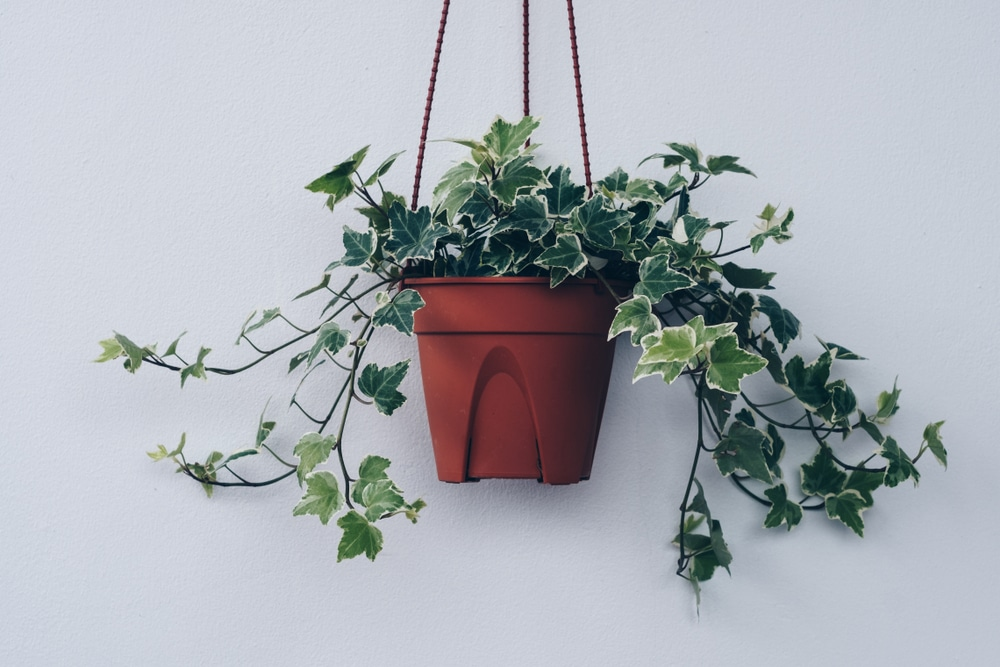 ivy plant in a hanging pot on a white background