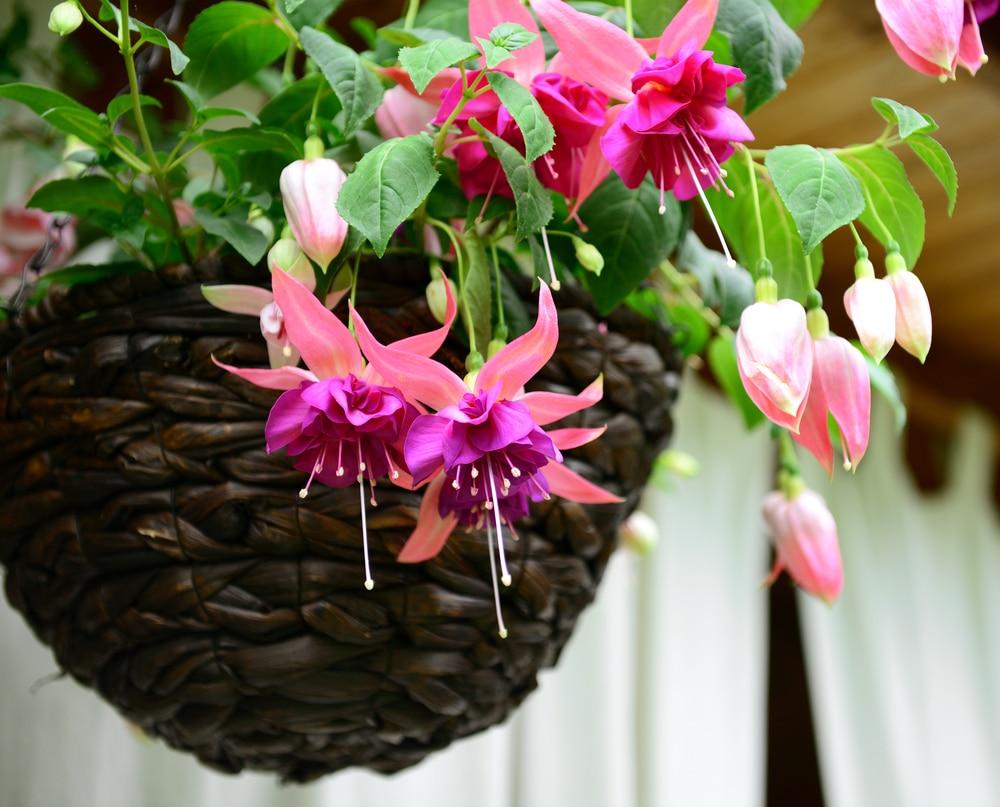 a fuchsia hanging basket