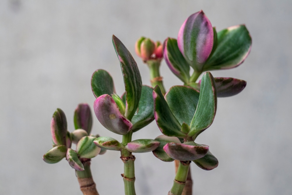 The Tricolour cultivar of Crassula Ovata