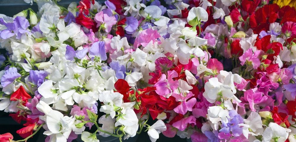 multi coloured sweet pea flowers