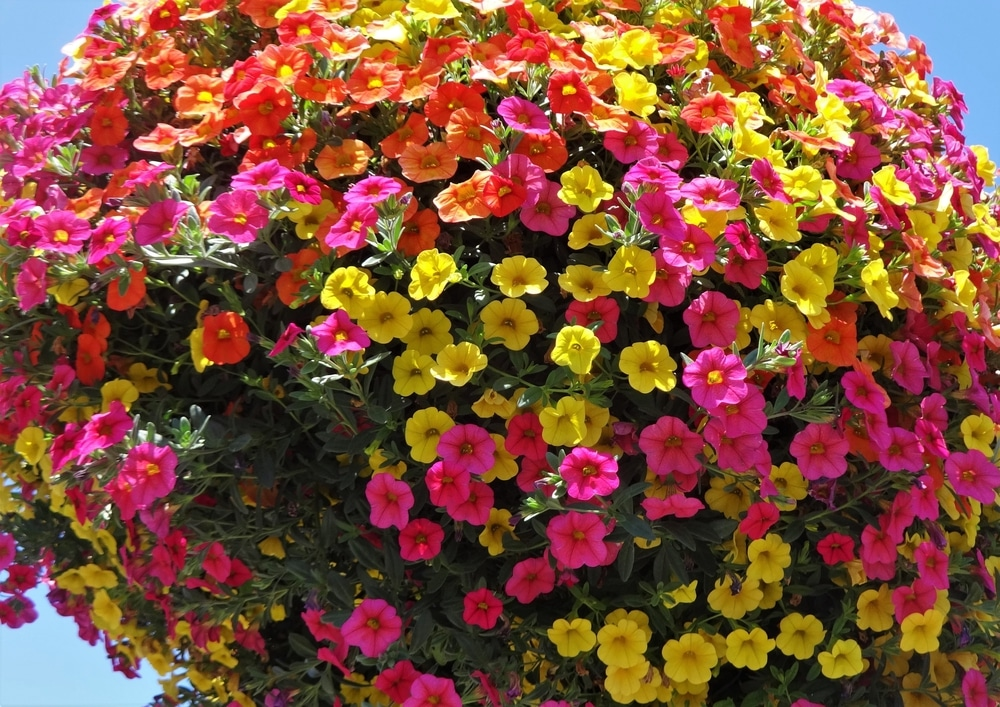 million bells red, pink and yellow flowers with green foliage