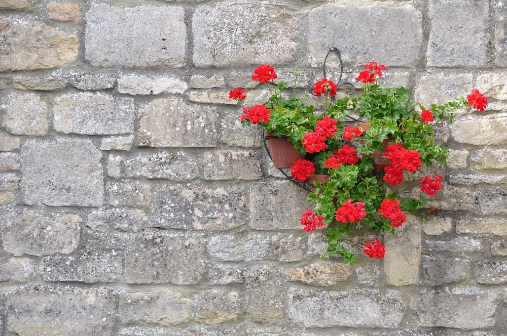 geranium hanging pots with red flowering