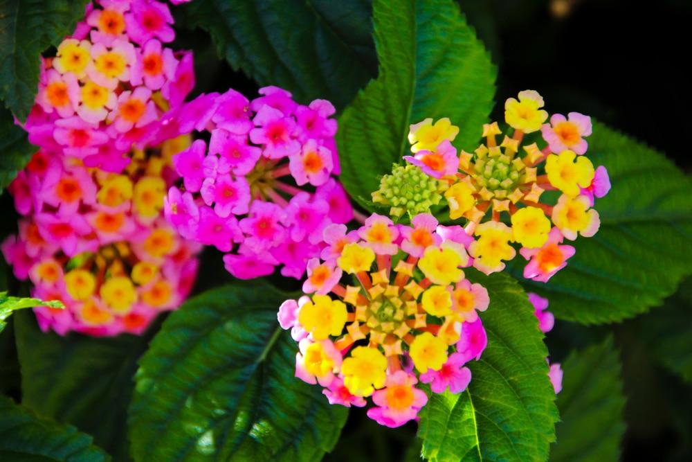 unusual lantana flowers
