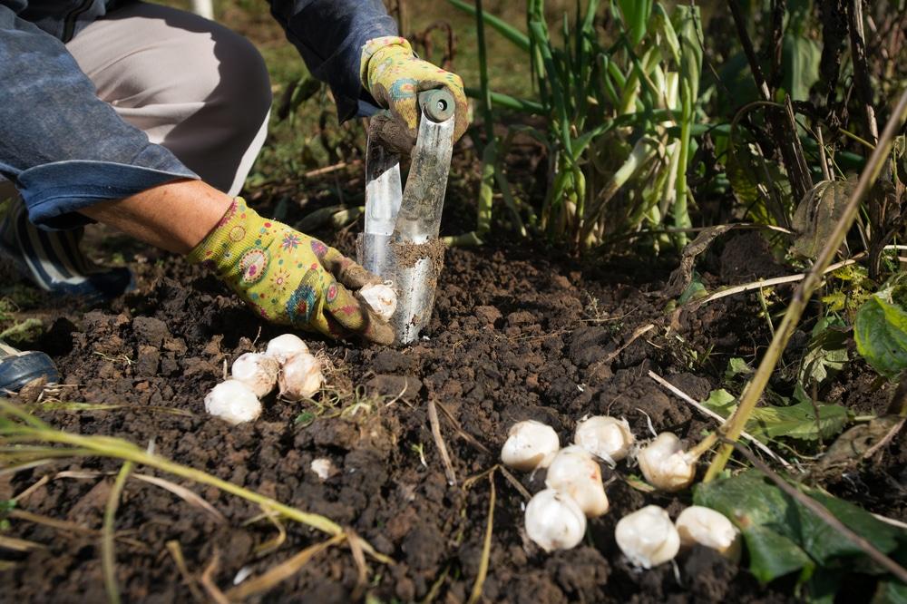 woman planting bulbs in garden soil