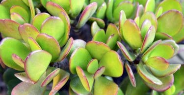 up close shot of crassula ovata