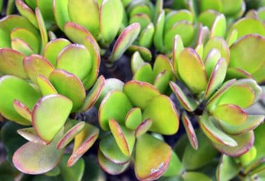 up close shot of crassula ovata