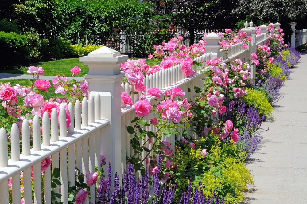 white fencing covered in roses