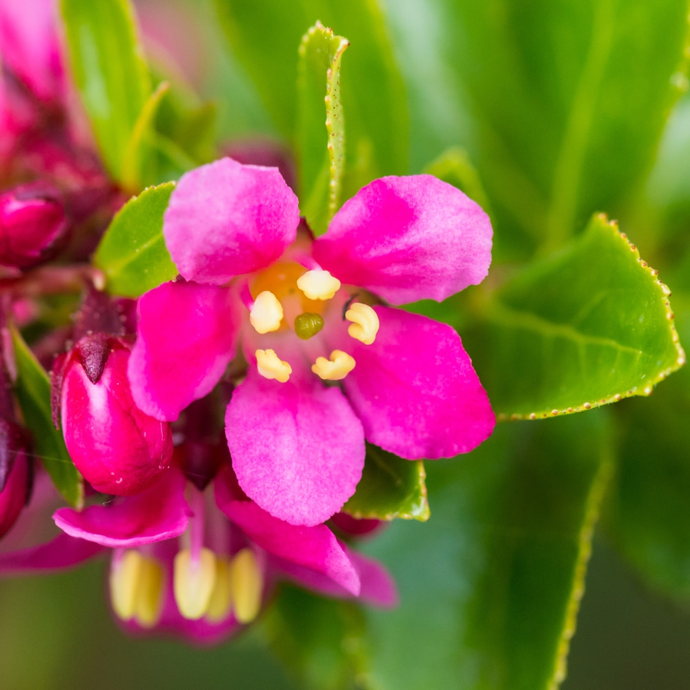 pink escallonia flower with its five petals