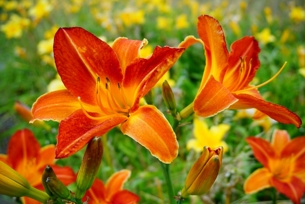 deep, vibrant orange flowers