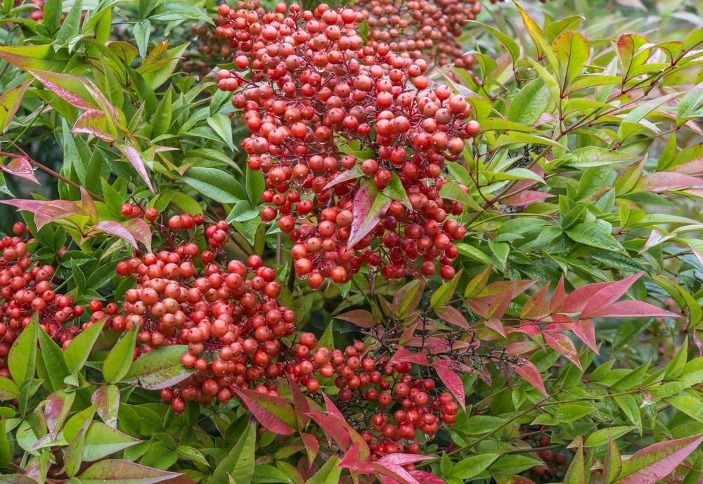 red nandina domestica berries