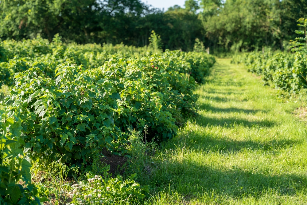 blackcurrant bushes grown commercially