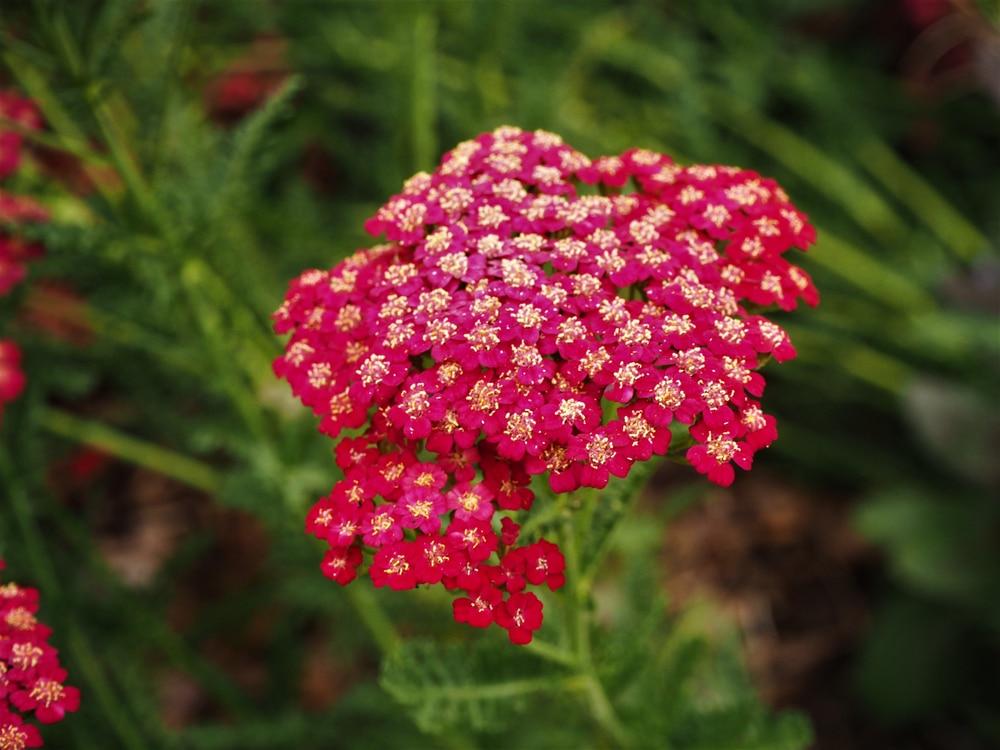 Red velvet yarrow flowering in a garden