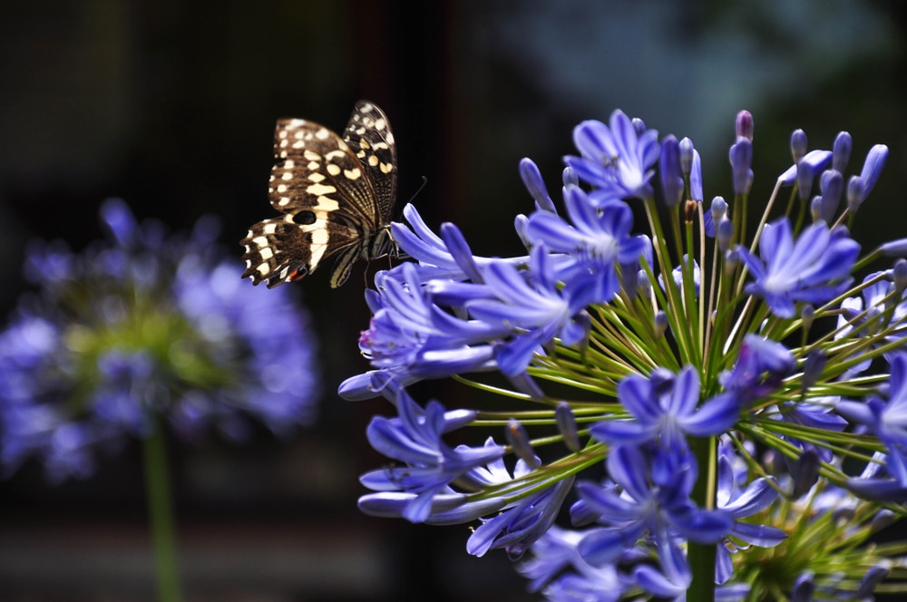 a butterfly sitting on an agapanthus flower