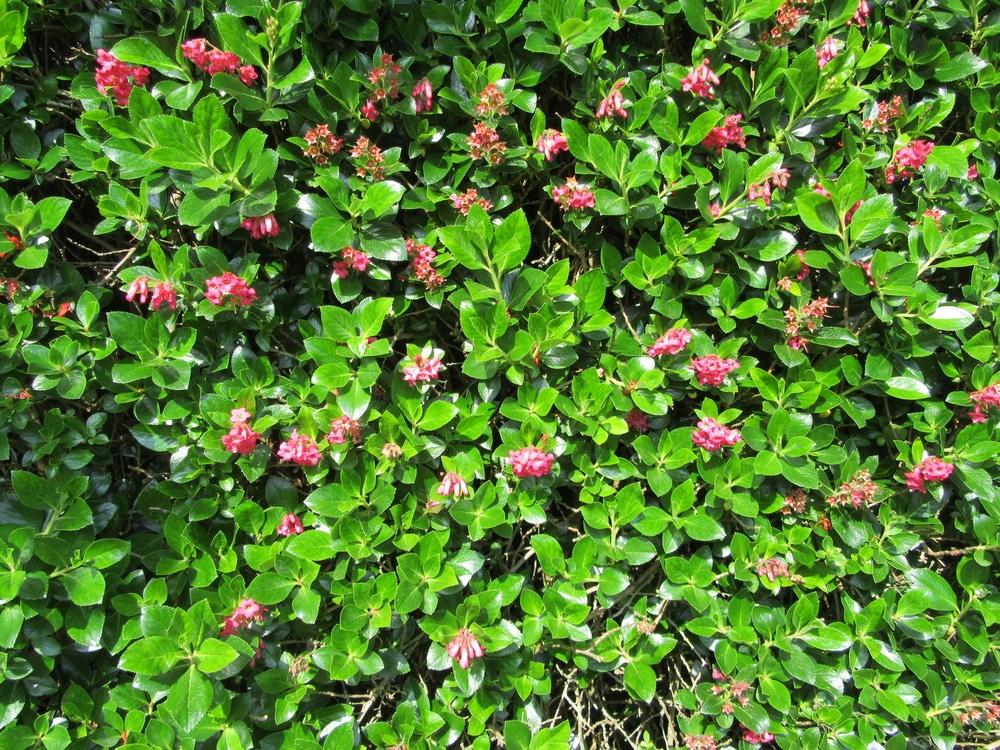 an escallonia hedge