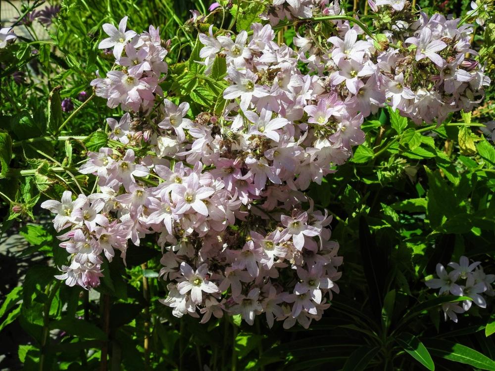 Loddon Anna variety of campanula