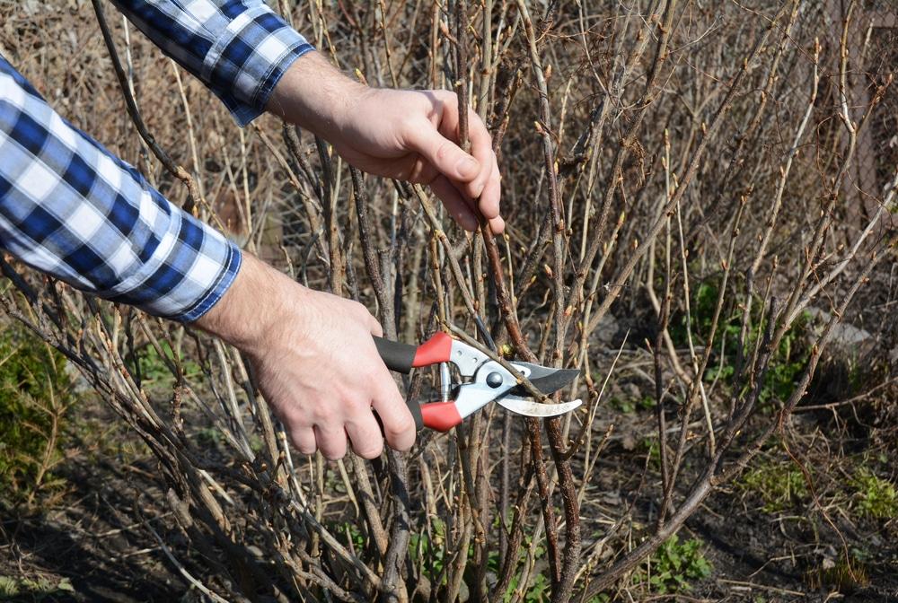 man pruning dormant blackcurrant bushes