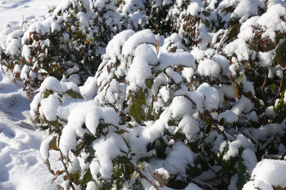 mahonia plants covered in snow