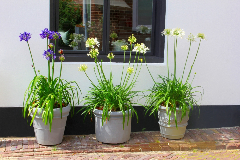 purple and white agapanthus plants protruding from 3 plant pots