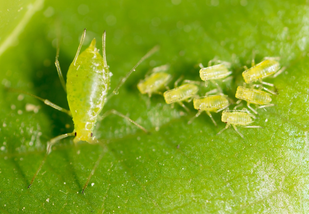 green aphids on surface of a plant
