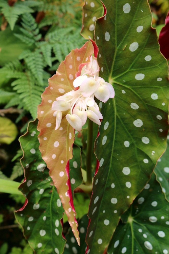 The flower of Begonia aconitifolia, and its speckled leaves