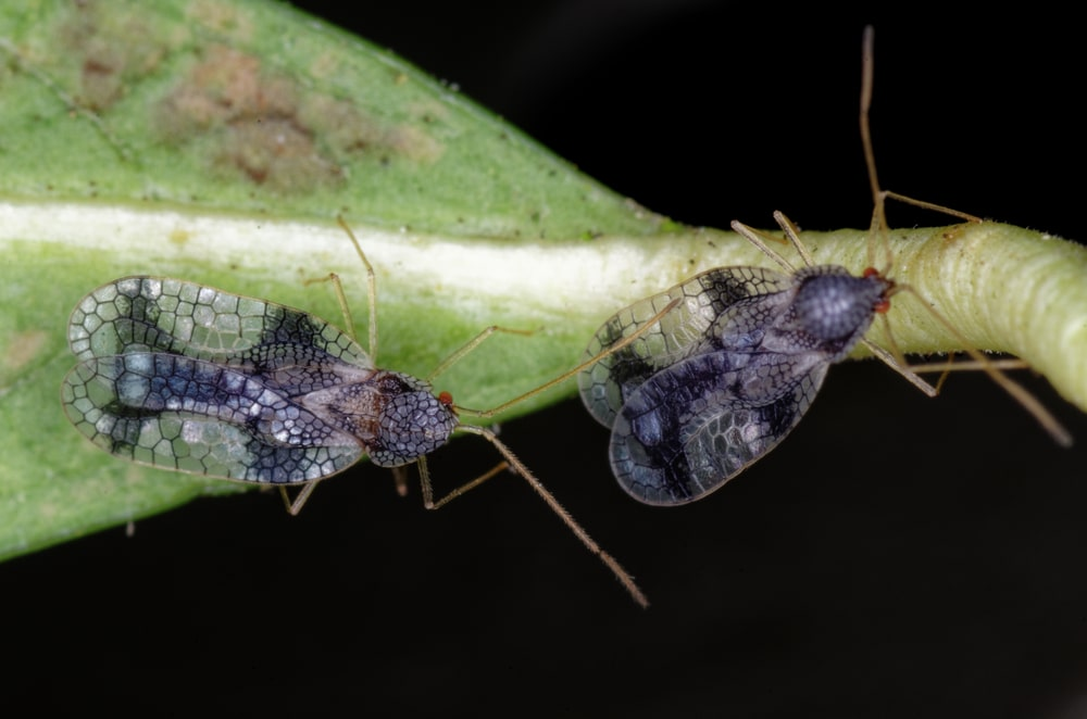 close up of two lace bugs on stem of a plant