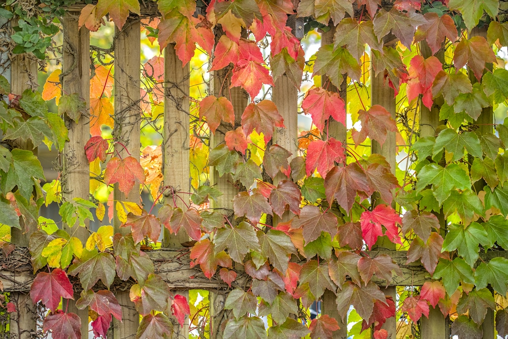 garden fence covered with trailing vine