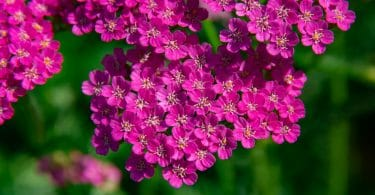 purple achillea flowers