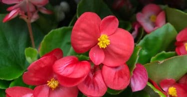 bright red wax begonias in the garden