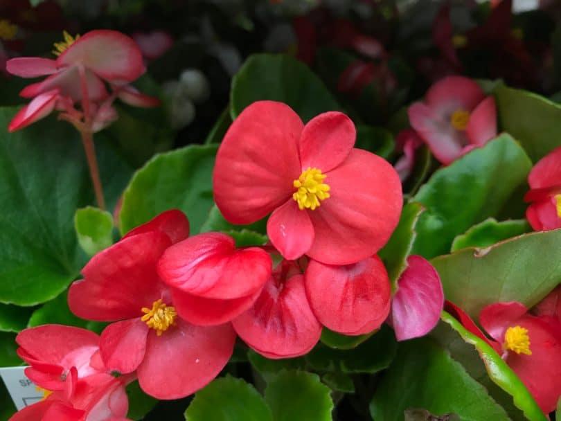 Begonia Plant Care Uk Growing Tips Upgardener
