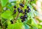 blackcurrants ripe on branches