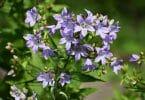 light purple campanula flowers