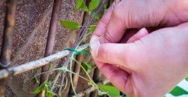 a man tying a climbing plant to a trellis