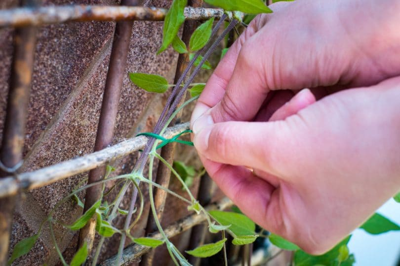 a man tying a climbing plant to a trellis