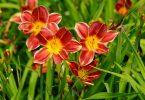 stunning red and orange hemerocallis flowers