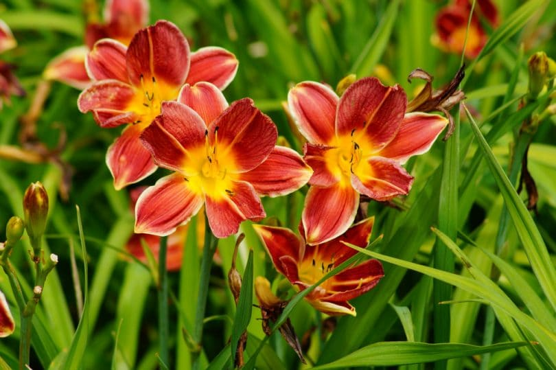 stunning red and orange hemerocallis flowers