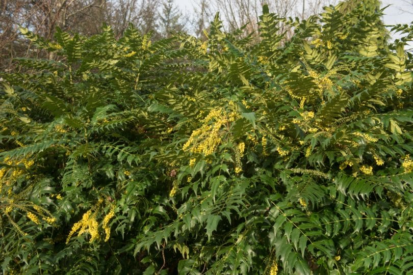 mahonia plant with its distinctive greenery