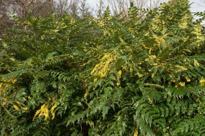 mahonia plant with its distinctive greenery