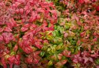 nandina domestica close up of leaves