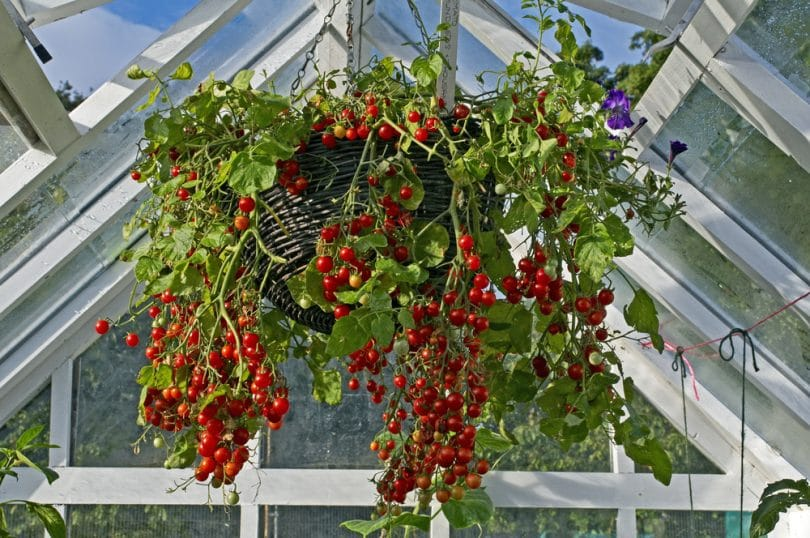 tomatoes hanging from their basket