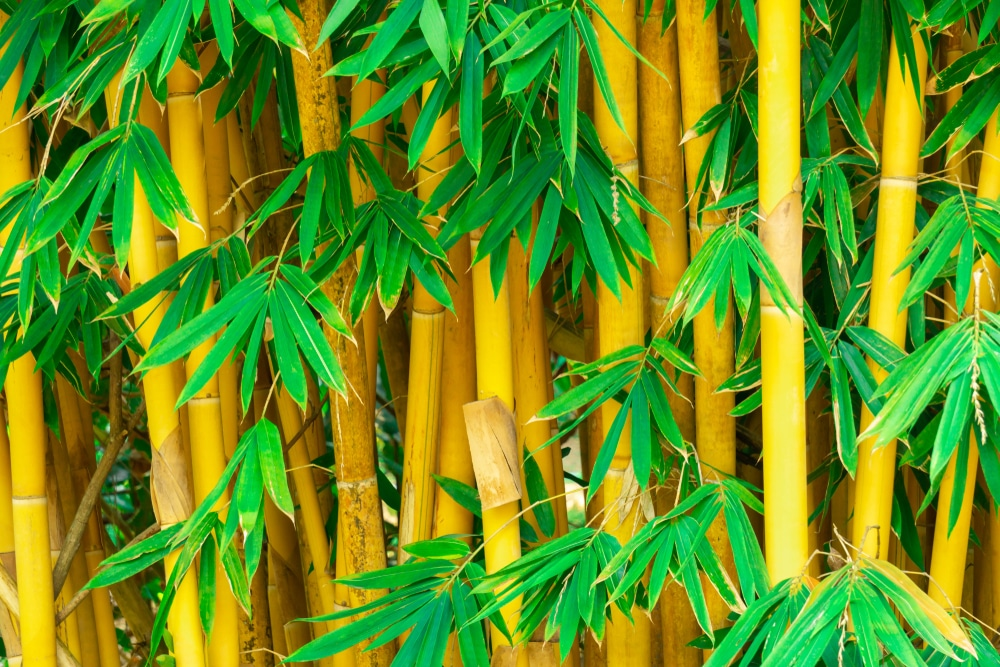 Golden bamboo in the garden